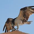 Osprey by David Lee Thompson