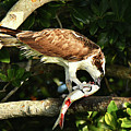 Osprey Dining by Alan Lenk