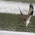 Osprey Dive by Deborah Benoit