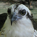 Osprey Portrait by Donna Brown