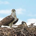 Osprey Family by Michael CrowderPhotography