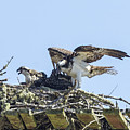Osprey Family Portrait No. 1 by Belinda Greb