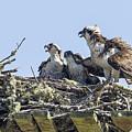 Osprey Family Portrait No. 2 by Belinda Greb