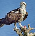 Osprey Feast by Bill Dodsworth