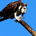 Osprey Feeding 014 by Chris Mercer