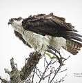 Osprey Fluff by Deborah Benoit