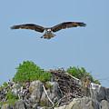 Osprey Flying Over A Bird's Nest by DejaVu Designs