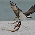 Osprey Flying With Seaweed by Artful Imagery