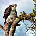 Osprey by Francesco Roncone