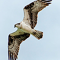 Osprey Hovering by John Bartelt