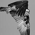 Osprey Hunting by Deborah Benoit
