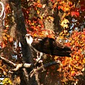 Osprey In Fall by Theresa Willingham