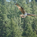 Osprey In Flight 6 by Ben Upham III