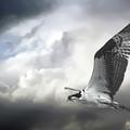 Osprey In Flight by Brian Wallace