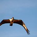 Osprey In Flight by Clayton Bruster