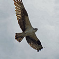 Osprey In Flight by Ernie Echols