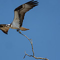 Osprey In Flight With Stick For Nest 031620160906 by WildBird Photographs