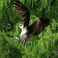 Osprey In Landing Mode by Deborah Benoit
