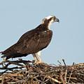 Osprey In Nest by Gary E Snyder