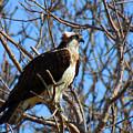 Osprey In Spring by Dianne Cowen