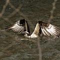 Osprey In The Creek by Travis Boyd