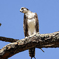 Osprey In The Trees by David Lee Thompson