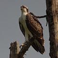 Osprey by John Adams