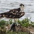 Osprey Laguna Atascosa by NaturesPix