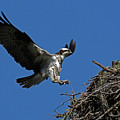Osprey Landing Approach - Oregon Coast by Randall Ingalls