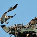 Osprey Landing In Nest by Alan Lenk