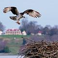 Osprey Landing Mount Vernon by Buddy Scott