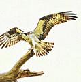 Osprey Landing by Ola Allen