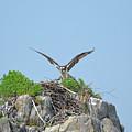 Osprey Landing On A Nest by DejaVu Designs
