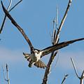 Osprey Launches Head On by Tony Hake