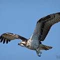 Osprey Look by Deborah Benoit