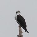 Osprey Lookout by Andrea Freeman