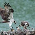 Osprey Male Bring Home The Dinner by Dan Friend