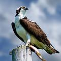 Osprey by Michael Cummings