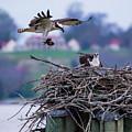 Osprey Nest Building by Buddy Scott