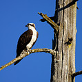 Osprey Nest Guard - 001 by Shirley Heyn