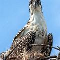 Osprey Nesting by Francesco Roncone