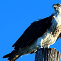 Osprey On A Pole by Christiane Schulze Art And Photography