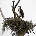 Osprey On Guard by Alan Raasch