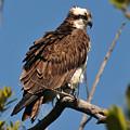 Osprey On Perch by Alan Lenk