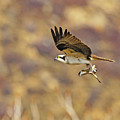 Osprey On The Wing With Fish by Dennis Hammer