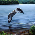 Osprey Over Clear Lake by Mark Mittlesteadt