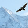 Osprey Over Mt Currie Pemberton B.c by Pierre Leclerc Photography