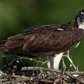 Osprey Portrait by Gary E Snyder