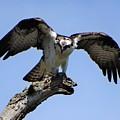 Osprey Power by Karen Velsor