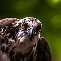Osprey Profile 2 by Blake Webster